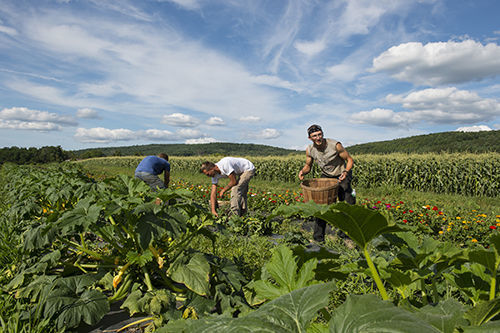 Workers pick vegetables at Schoharie Valley Farms in August. Photo by Barbara Johnston