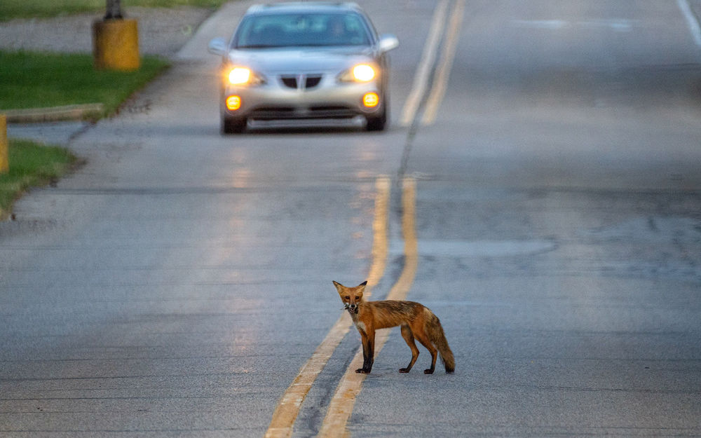 Fox crosses Dorr Road